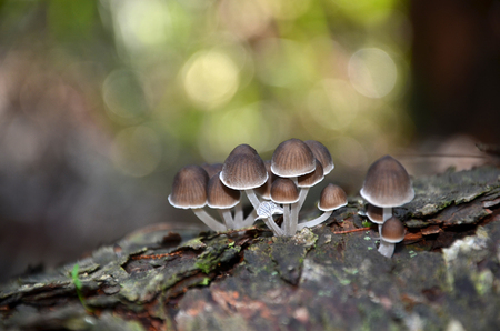 fairy toadstool: Fairy inkcap fungi (Coprinellus) growing on a rotting tree stump