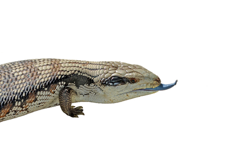 poking: Australian Blue Tongue Lizard poking its tongue out. Isolated on white background. Common visitor to gardens and backyards of Sydney, Australia. Stock Photo