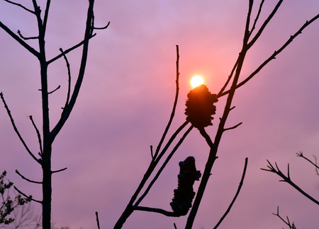 bushfire: Glowing sun in a smoky sky at sunset with burnt Banksia tree in foreground (after a bushfire) Stock Photo