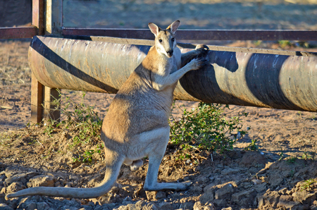 outback australia: Male Agile Wallaby (Macropus agilis) at a drinking trough in outback Australia