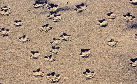 webbed foot: Seagull webbed foot print (tracks) on a sandy beach