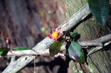 twined: Hibbertia scandens (Climbing Guinea Flower) entwined around wooden branches