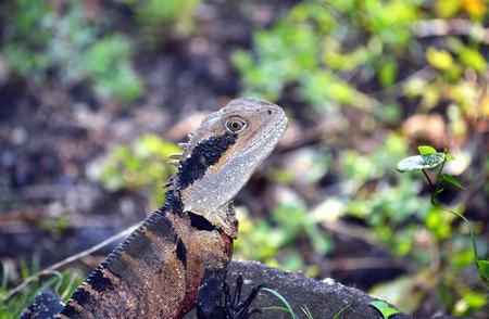 Australian Eastern Water Dragon (Itellagama lesueurii) in Sydney bushland, Royal National Park, Australia Stock Photo