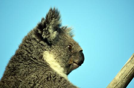 head close up: Australian Koala (Phascolarctos cinereus) sitting in a gum tree with blue sky background. Head close up of Australia�s iconic marsupial
