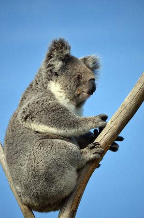 marsupial: Australian Koala (Phascolarctos cinereus) sitting in a gum tree with blue sky background. Australia�s iconic marsupial mammal.