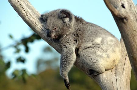 Australian Koala (Phascolarctos cinereus) sleeping in a gum tree. Australia�s iconic marsupial mammal.