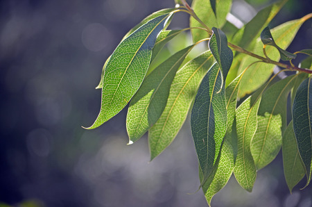 Back lit leaves of the Australian native Protea, the Woody Pear, Xylomelum pyriforme, showing prominent venation pattern. Royal National Park, Sydney, Australia Stock Photo