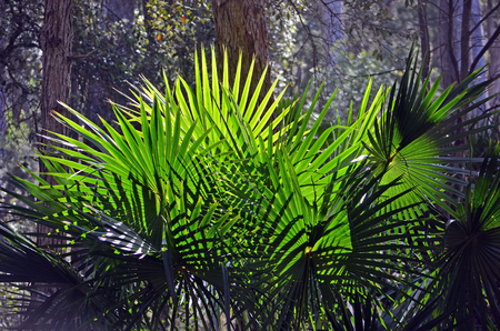 new south wales: Back lit fan-shaped Cabbage Tree Palm Leaves (Livistona australis) in rainforest in the Royal National Park, New South Wales, Australia