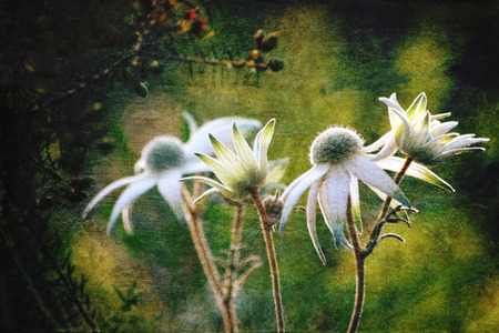 twirling: Luminous antique style Flannel Flowers (Actinotus helianthi) in the Australian bush. Grunge and vintage textured photo.