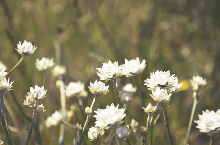 nsw: White Everlasting daisies growing in the countryside, NSW, Australia. Stock Photo