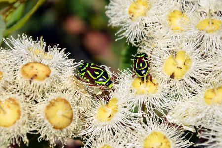 Australian Fiddler Beetles or Rose Chafers, Eupoecila australasiae, feeding on nectar of white blossoms of the gumtree Angophora hispida. Royal National Park, Sydney. Member of Scarab beetle family.
