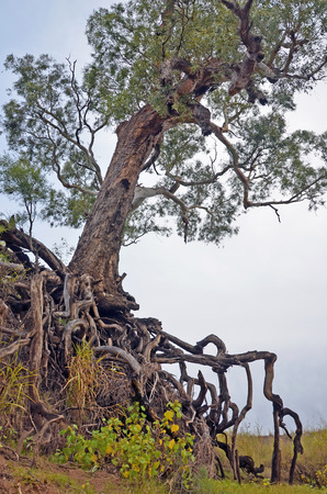 gully: Old tree with exposed tangled roots on an eroded dry river gully in farmland, New South Wales, Australia.