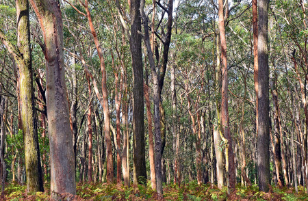 Australian Eucalyptus forest background with Sydney Red Gums, Angophora costata, and bracken fern understorey at Darkes Forest, New South Wales, Australia Stock Photo