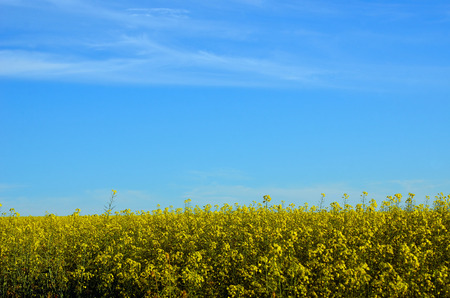 Bright yellow canola crop under blue sky in NSW farmland, Australia. Also known as rape seed.