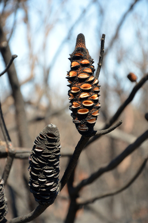 Burnt Banksia cones releasing seeds. Opened by a bushfire in heathland in Kamay Botany Bay National Park, NSW, Australia Stock Photo