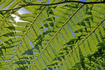 Close up of back lit overlapping tree fern fronds against a blue sky with sunlight shining through. Greenery background. Selective focus. Stock Photo