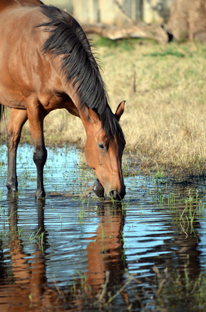 Bay coloured horse drinking and pawing water with reflection in watering hole.