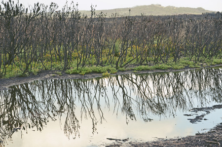 Blackened trees and green undergrowth regenerating after a bushfire, reflected in a pond after rain. Kamay National Park, Cape Solander, NSW, Australia