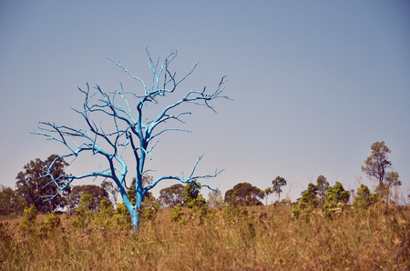 Painted blue dead gum tree in grassy field, Australian Botanic Garden, Mount Annan, NSW, Australia