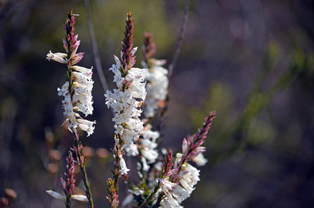 White tubular flowers of the australian native blunt leaf heath stock photo white tubular flowers of the australian native blunt leaf heath epacris obtusifolia growing in heath along the little marley fire trail mightylinksfo