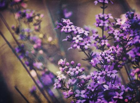 Wild Australian native Boronia ledifolia. Grunge textured.