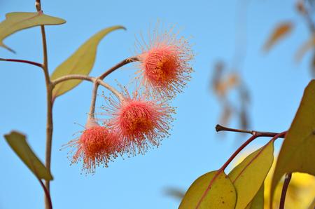 Australian native pink Corymbia flowering gum tree blossoms, Perth, Western Australia