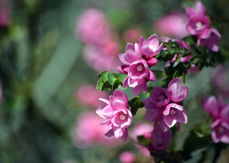 Pink flowers of the Australian Native Rose, Boronia serrulata, family Rutaceae, Royal National Park, Sydney, NSW, Australia. Spring flowering. Copy space for text.
