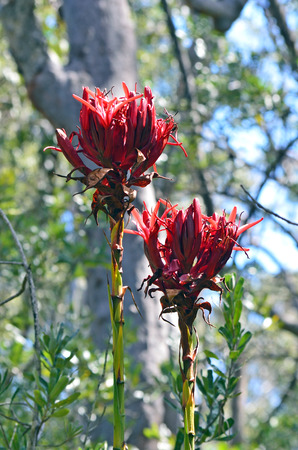 Pair of Gymea Lily flowers, Doryanthes excelsa, growing in sclerophyll forest in the Royal National Park, Grays Point, Sydney. Also known as the Flame Lily or Spear Lily. Native to east coast of New South Wales, Australia.