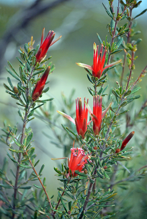 Red flowers of the Australian native Mountain Devil, Lambertia formosa, family Proteaceae, growing in heath, Little Marley Firetrail, Royal National Park, east coast NSW, Australia. Endemic to New South Wales, flowers in winter and spring. Stock Photo