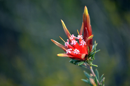 Red flowers of the Australian native Mountain Devil, Lambertia formosa, family Proteaceae, growing in heath, Little Marley Firetrail, Royal National Park, east coast NSW, Australia. Endemic to New South Wales, flowers in winter and spring. Banco de Imagens