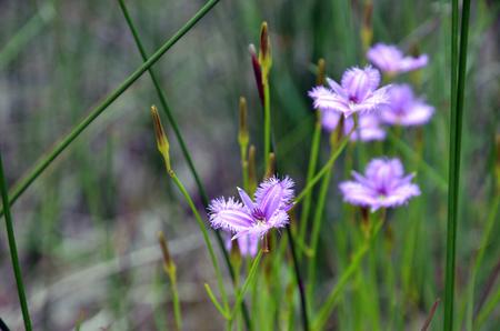 Purple natif d'Australie lis de frange commune, Thysanotus tuberosus, qui fleurit dans la bruyère dans le Royal National Park, Sydney, Australie