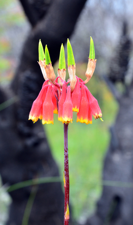 Christmas Bells, Blandfordia nobilis, family Blandfordiaceae, growing amongst burnt and blackened trees following a bushfire, Royal National Park, New South Wales. Spring and summer flowering perennial herb native to eastern Australia.