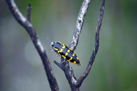 Yellow and black Australian native Banksia Jewel bug, Cyrioides imperialis, family Buprestidae, in regenerating heath after a bushfire, Royal National Park, NSW, Australia Stock Photo - 114932549