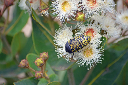 Australian native Freckled Jewel bug, Stigmodera macularia, feeding on nectar of Angophora hispida blossoms, Wallumarra Track, Royal National Park, NSW, Australia