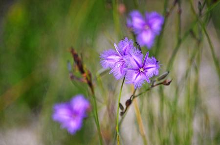 Purple natif australien fringe lily, Thysanotus tuberosus, qui fleurit dans la bruyère dans le Royal National Park, Sydney, Australie
