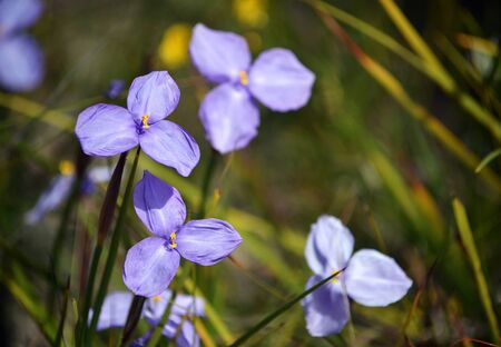 Australian native silky purple flag iris wildflowers, Patersonia sericea, family Iridaceae, flowering in spring along the Little Marley firetrail, Royal National Park, Sydney, NSW, Australia