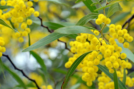 Flowers, leaves and distinctive stems of the Australian native Zig Zag wattle, Acacia macradenia, family Fabaceae. Endemic to central Queensland, Australia