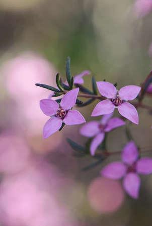 Close up of pink flowers of the Australian native Boronia ledifolia, family Rutaceae, Royal National Park, Sydney, Australia. Also known as the Showy, Sydney or Ledum Boronia