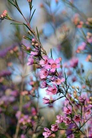 Pink flowers of an Australian native Geraldton Wax cultivar, CWA Pink, Chamelaucium uncinatum, family Myrtaceae, endemic to Western Australia. Winter Stock Photo