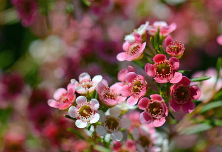 Red, pink and white flowers of the Australian Chamelaucium waxflower variety My Sweet Sixteen, family Myrtaceae.
