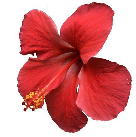 fiori di ibisco: Red Hibiscus Flower on White