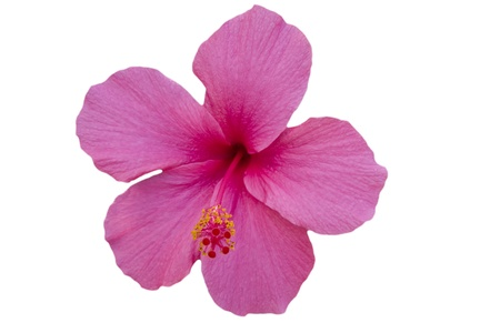 Pink Hibiscus on white background photo