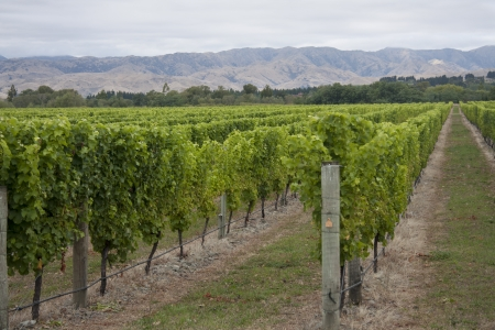 Vines growing in a Marlborough vineyard, South Island, New Zealand photo