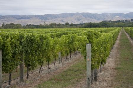 marlborough: Vines growing in a Marlborough vineyard, South Island, New Zealand Stock Photo