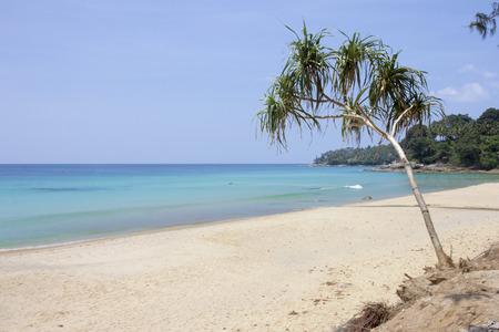 pandanus tree: Surin Beach, Phuket, Thailand Stock Photo
