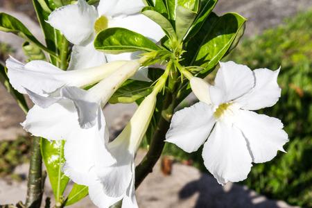 White Adenium flowers (Apocynaceae)