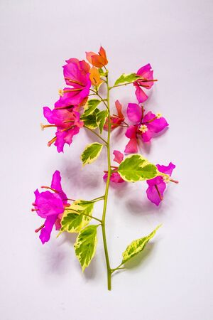 Pink Bougainvillea flowers with variegated leaves Stock Photo