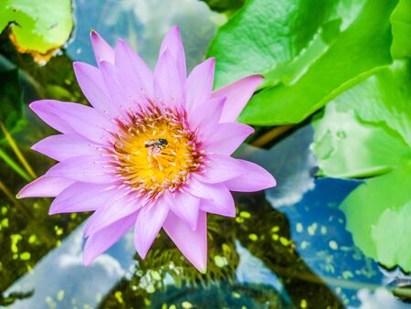Bee collecting pollen from a lilac water lily