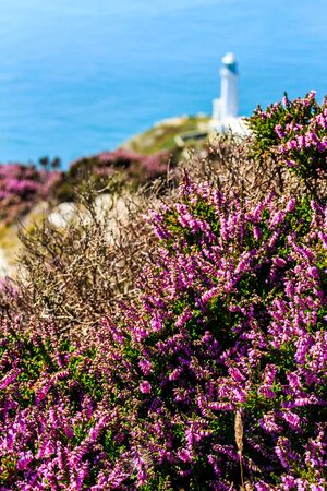 Purple heather with North Stack lighthouse in the background, Anglesey, North Wales, United Kingdom, UK