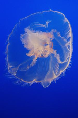 fishtank: Jellyfish